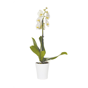 orchidee blanche achat