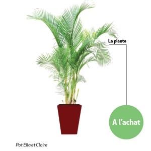 Excellent areca cm with entretien areca - Ou planter un palmier dans son jardin ...